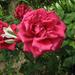 rózsa liliommal