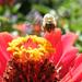 Méhecske a munka közben
