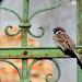 A veréb is madár