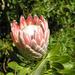139 Királyi protea