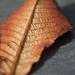 levél-Leaf