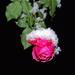 Rózsa a télben