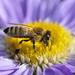 Méhek színek - avagy élet a gázrózsában - 5
