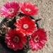piros kaktuszvirág