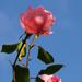 rózsa szín