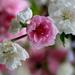 sakura cseresznyefa
