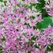 augusztusi varjúháj virága