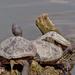 teknőcök