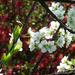 Album - cseresznyevirágás