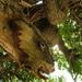 Kigyófa