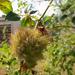 különleges növények, pamacs a csipkebokron