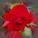 begónia, szemben egy vörössel