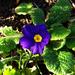 primula, egy novemberi lila